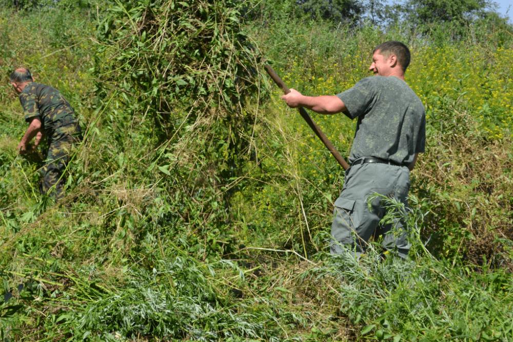 30 килограммов дикорастущей конопли уничтожили на территории Костино-Быстрянского сельского поселения