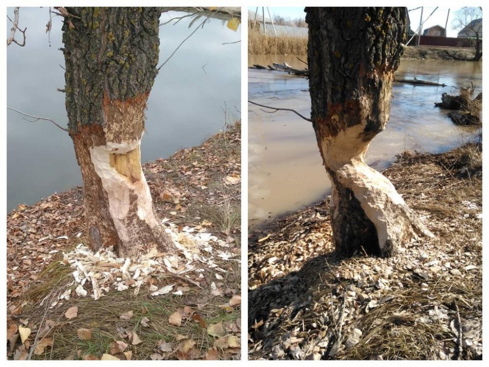 Бобр у реки Быстрой в Морозовске обточил толстое дерево за зиму