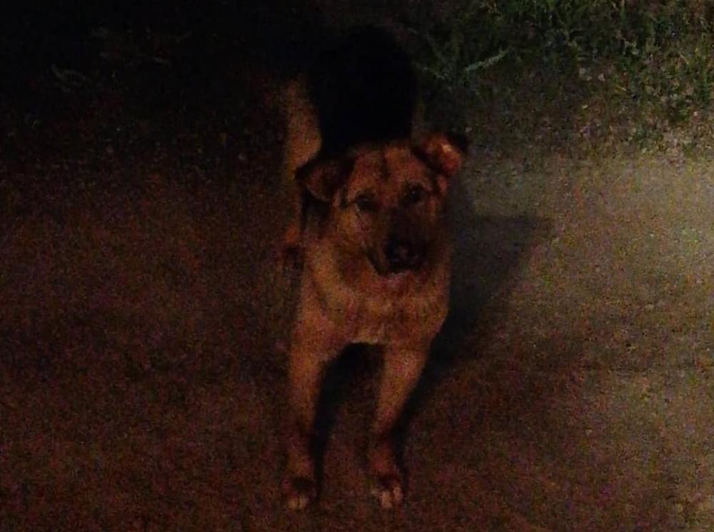 Собачья верность: в Морозовском районе овчарка осталась сторожить тело умершей хаски