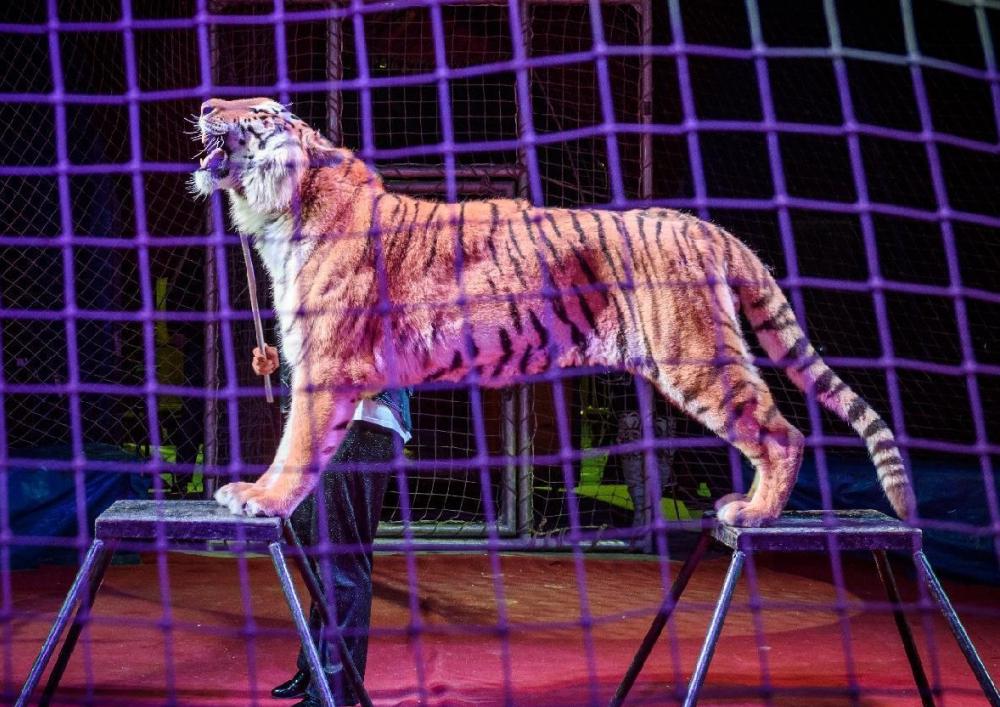 Огромный бенгальский тигр впервые приехал в Морозовск и будет выступать три дня