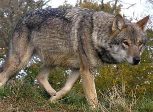 Волк очень хитер и опасен, - охотник из Морозовска о самом крупном хищнике Ростовской области