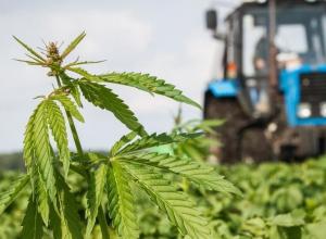Штраф за ростки конопли на своей территории получат владельцы земли в Морзовском районе