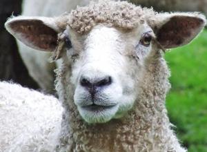 90 овец угнали у жителя хутора Табунный Морозовского района