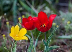 Лазоревые цветы в Морозовском районе находятся на грани исчезновения