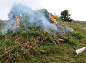 Около тонны дикорастущей конопли выкосили и сожгли в хуторе Семеновка