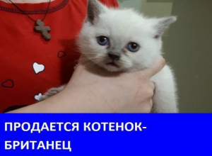 Продается кот британской породы