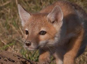 Обитающие в Морозовском районе степные лисицы могут лазить по деревьям и бегать со скоростью 60 километров в час