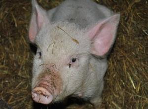 Двух умерших от вируса африканской чумы свиней нашли возле Морозовска