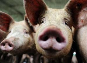Режим «Чрезвычайной ситуации» ввели на территории Морозовска из-за вируса африканской чумы свиней