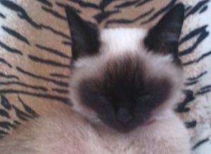 Ветеринар дважды спас от смерти мою кошку, - морозовчанка