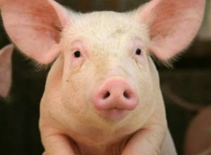 Употреблять в пищу свинину после термической обработки в Морозовске безопасно