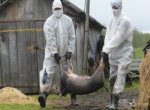 Почти 300 свиней были сожжены дотла в Морозовском районе после обнаружения африканской чумы