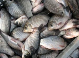 700 килограмм потенциально опасной рыбы залили хлорной известью в Морозовском районе