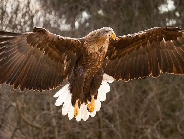 Двухметровый размах крыльев: обитающий в Морозовском районе орлан-белохвост занесен в Красную книгу