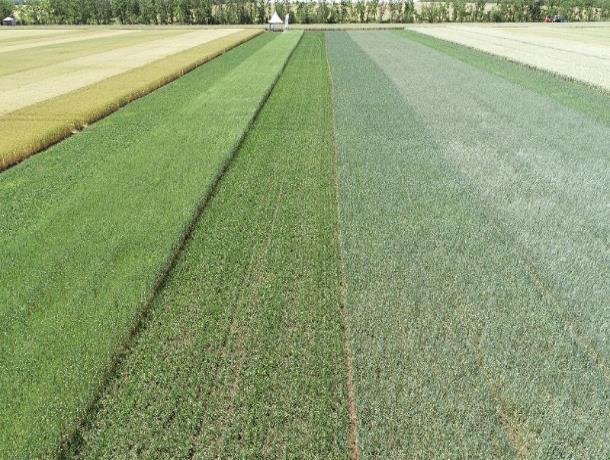 46 сортов пшеницы показали на Дне поля в Морозовском районе