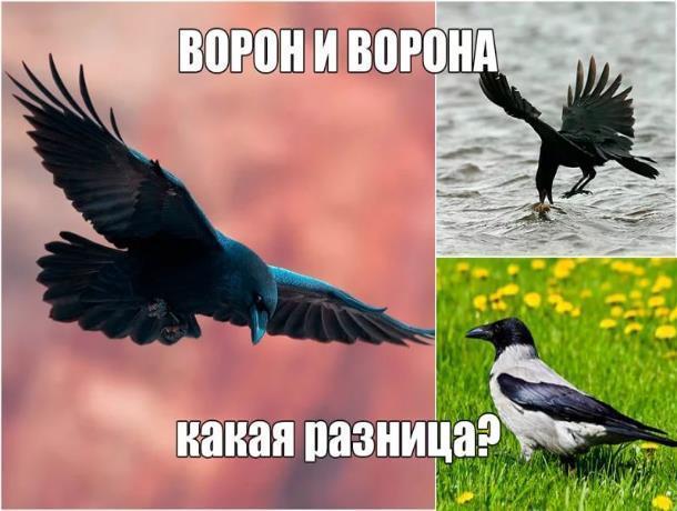 Чем отличается редковстречающийся в Морозовском районе ворон от вездесущей вороны