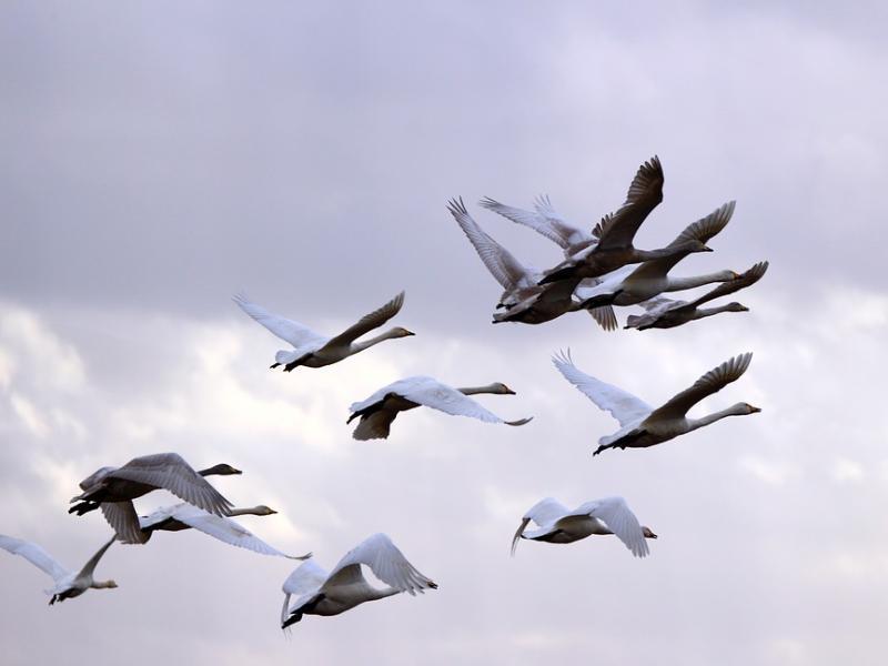 Перелетные птицы могут стать угрозой распространения птичьего гриппа, - специалисты донской ветеринарной службы
