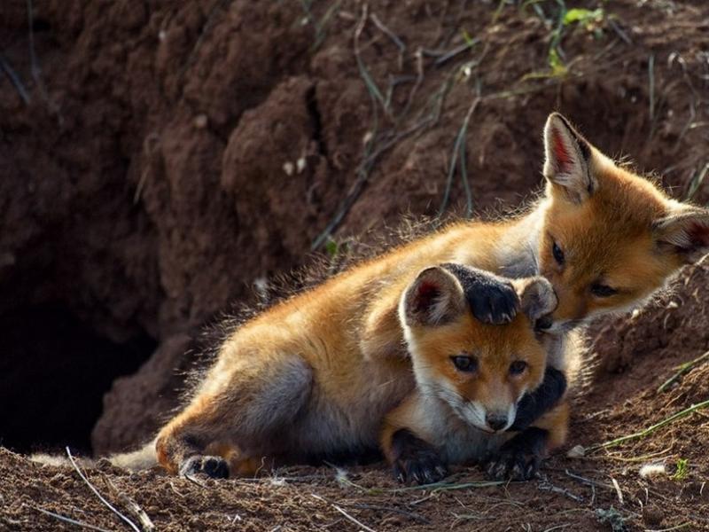 Очередной этап профилактической вакцинации диких животных пройдет на территории Ростовской области