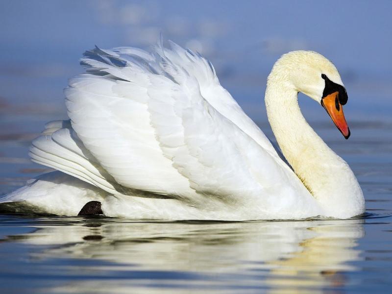 Лебедь: редких краснокнижных птиц можно встретить и на территории Морозовского района