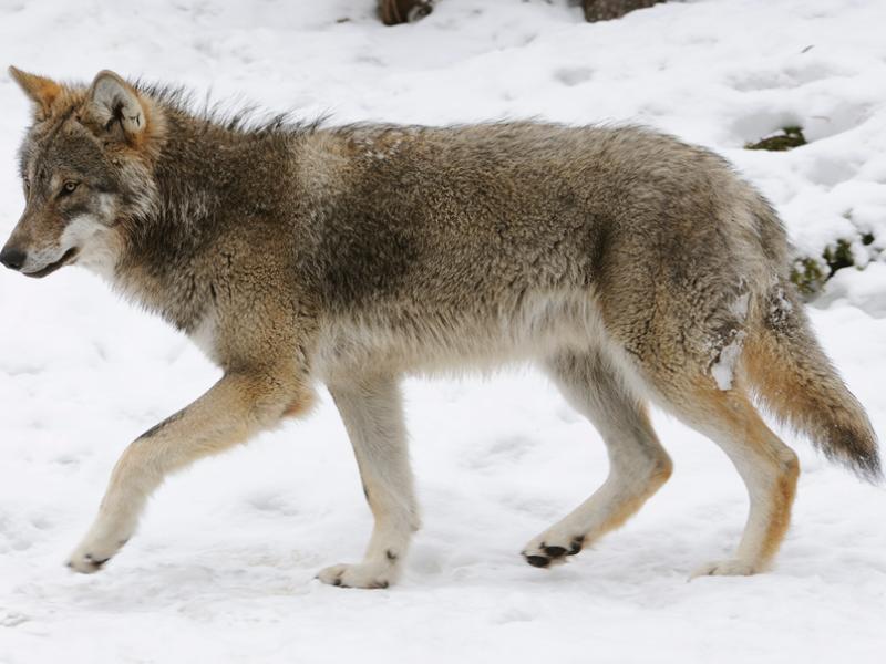 227 волков и 537 шакалов будут уничтожены в Ростовской области в 2019 году
