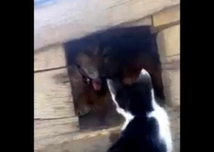 Дерущегося с цепной собакой котенка сняли на видео в Морозовске