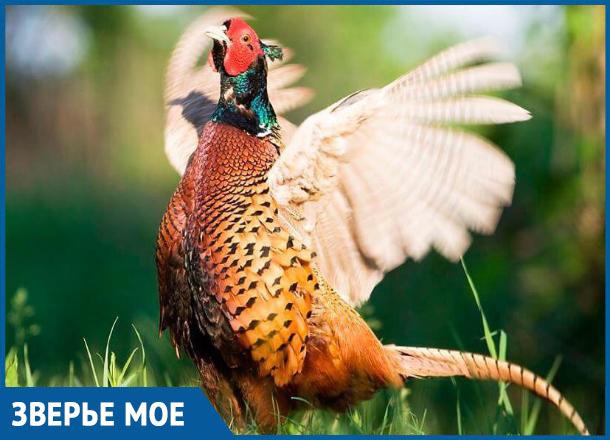 Раздолье для охотников Морозовского района: открыт сезон охоты на фазана